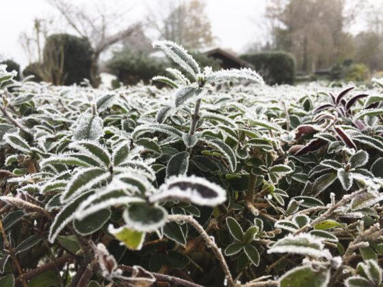 Garten im Februar: Frost überzieht eine Ligusterhecke.