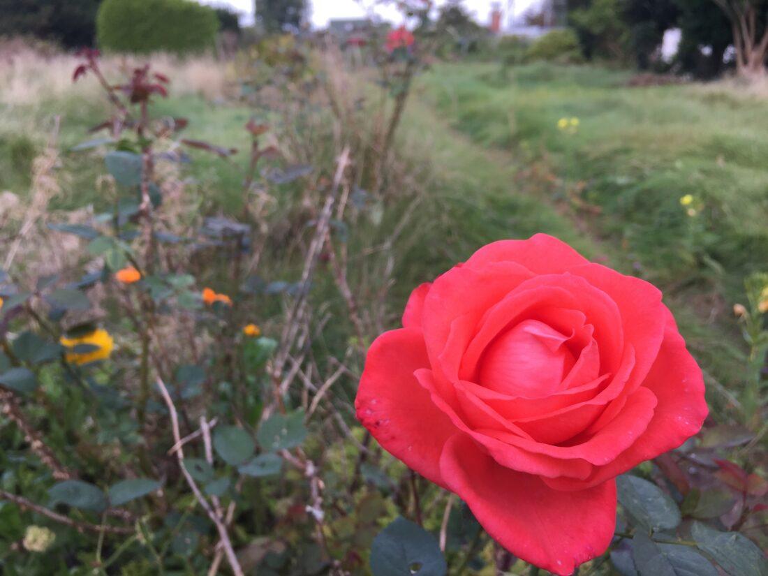 Rosenblüte in einem Kleingarten in Hamburg.