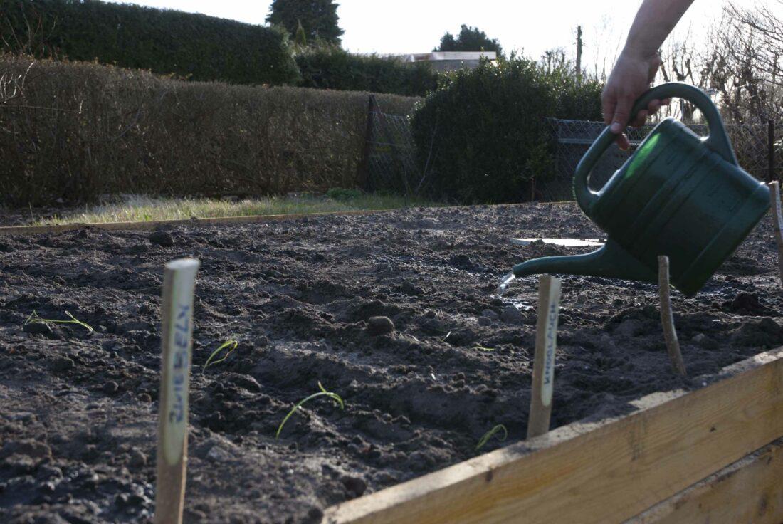 Aussaat: Nach dem Aussäen und Setzen der vorgezogenen Pflanzen werden gegossen.