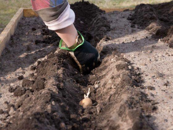 Kartoffeln pflanzen: eine Hand steckt Kartoffeln in einer Reihe in einem Beet.