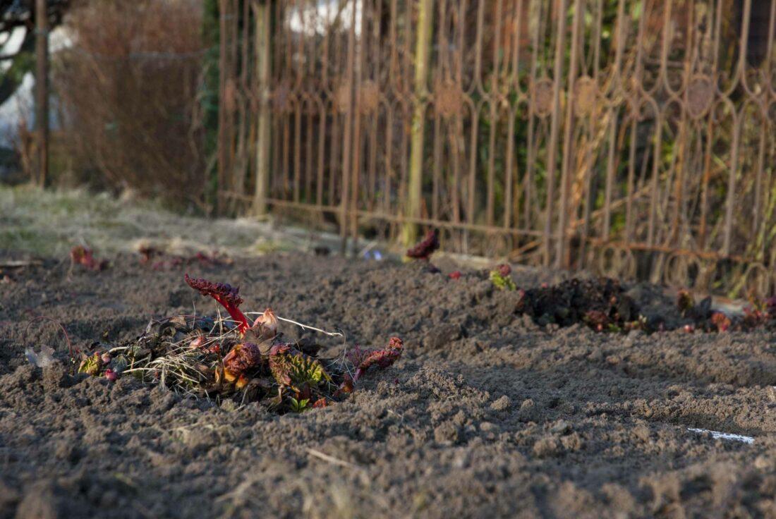 Kleine Rhabarberpflanzen im Frühling.
