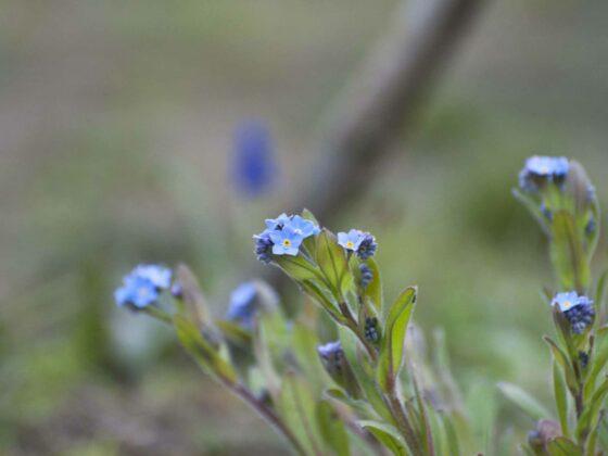 Blüten des Vergissmeinnichts in Blau.