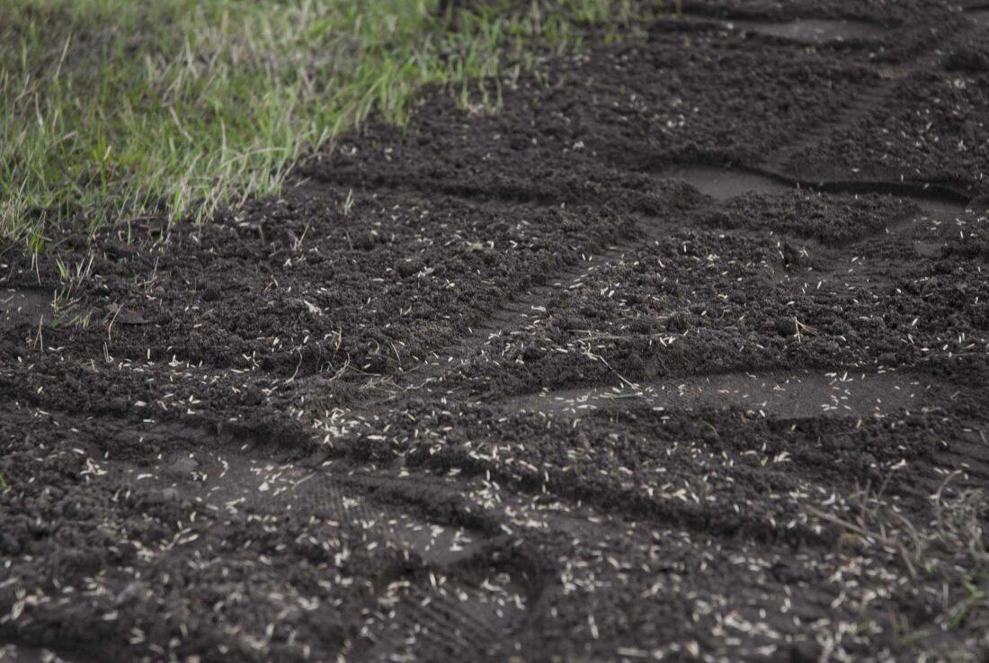 Frische Rasensaat im Boden.