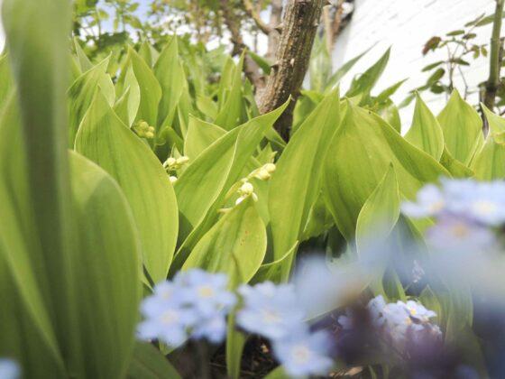 Garten im Mai: Maiglöckchen und Vergissmeinnicht blühen.