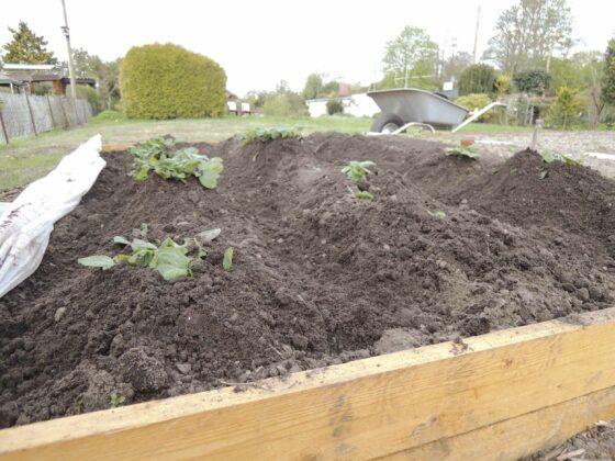 Kartoffeln häufeln: mit Erde bedeckte Kartoffelpflanzen in einem mit Holz eingefassten Beet.