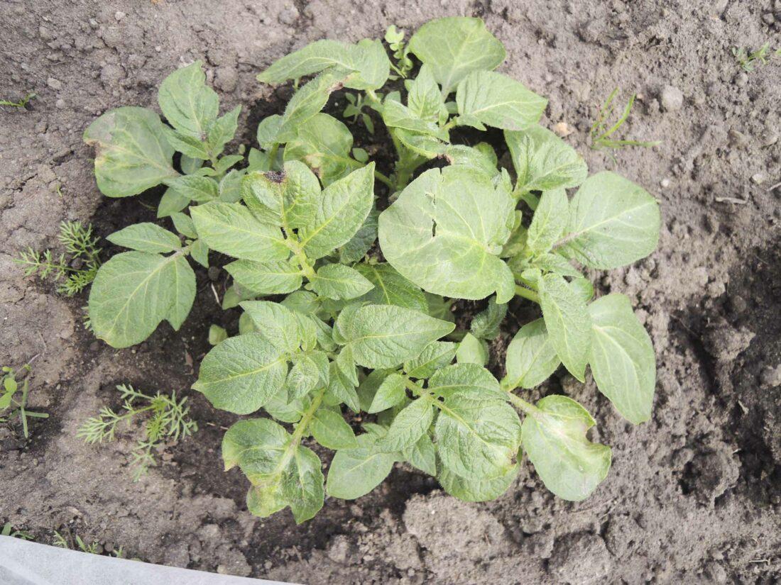 Kartoffeln häufeln: Kartoffelpflanze mit Frostschaden.