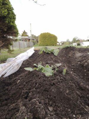 Kartoffeln häufeln: eine mit Erde bedeckte Kartoffelpflanze in einem mit Holz eingefassten Beet.