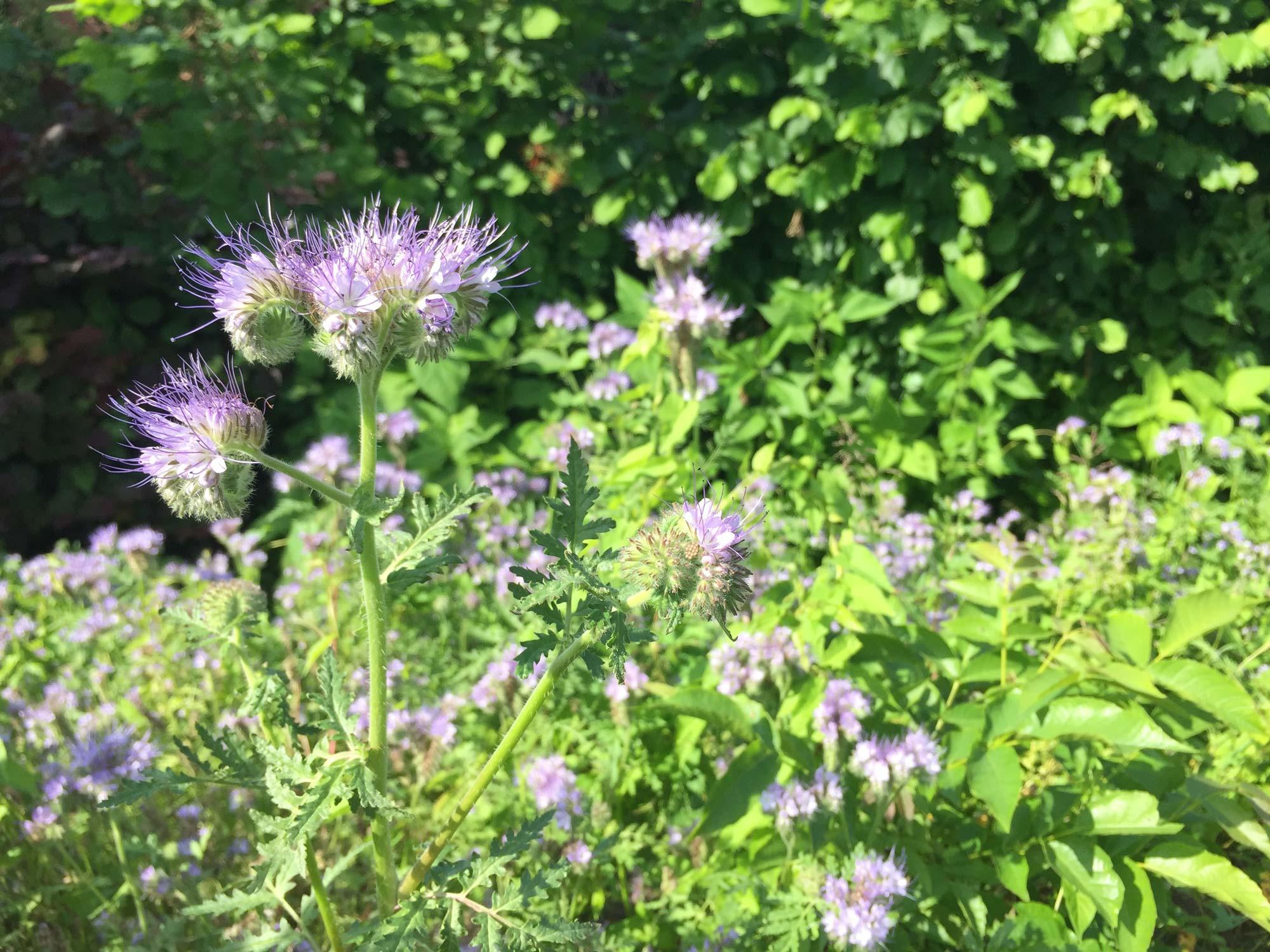 Zahlreiche Bienenfreund-Blüten hintereinander.