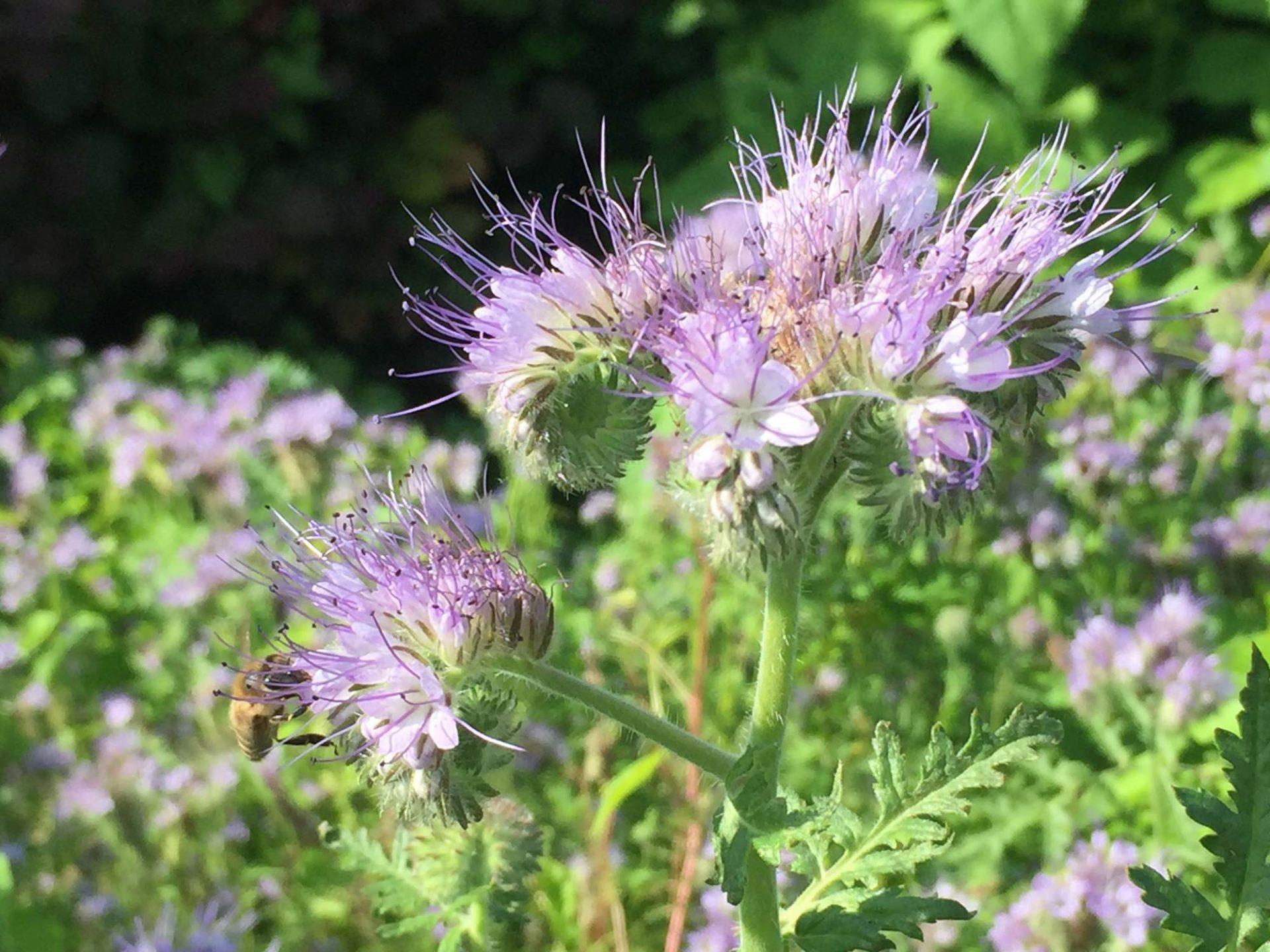 Blüte der Pflanze Bienenfreund, die von einer Biene angesteuert wird.