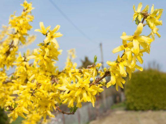 Gelbe Blüte einer Forsythie.