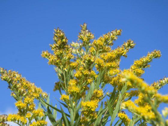 Blüten einer Goldrute vor blauem Himmel.