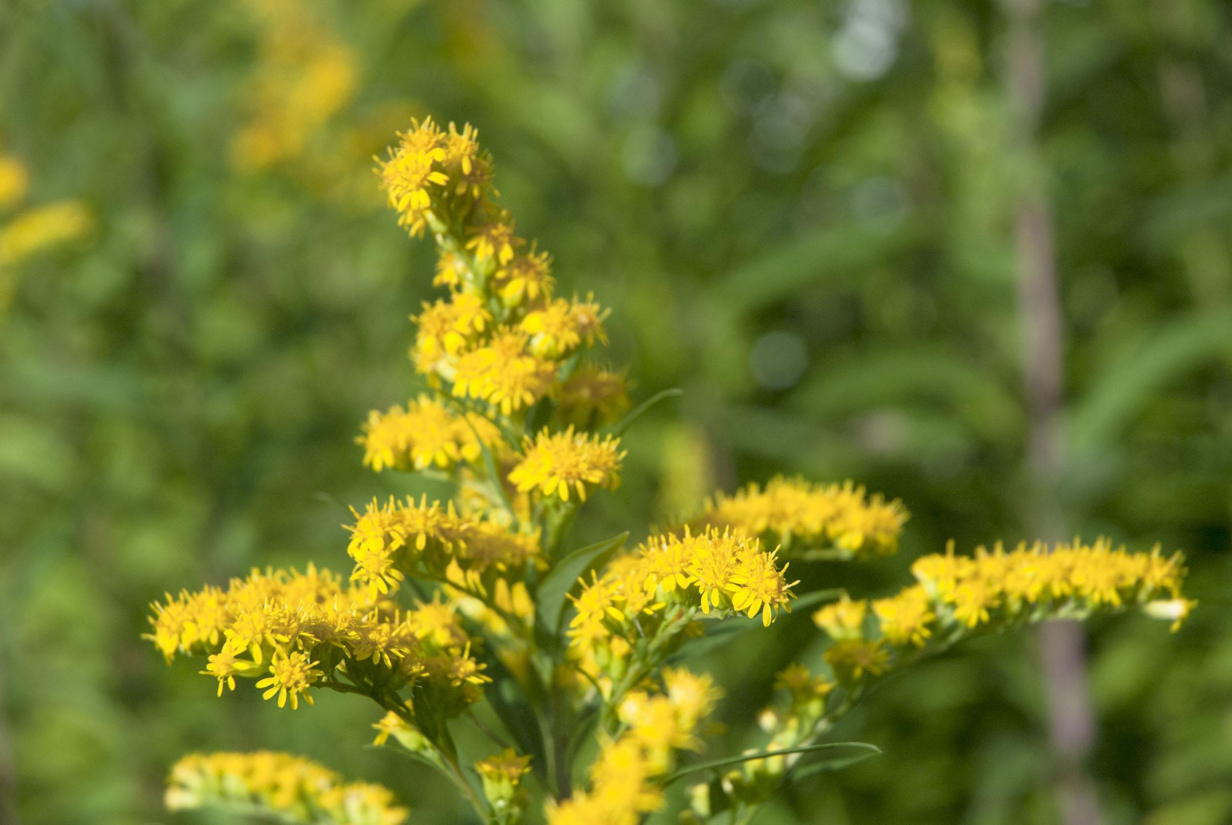 Blüte einer Goldrute vor grünem Laub.