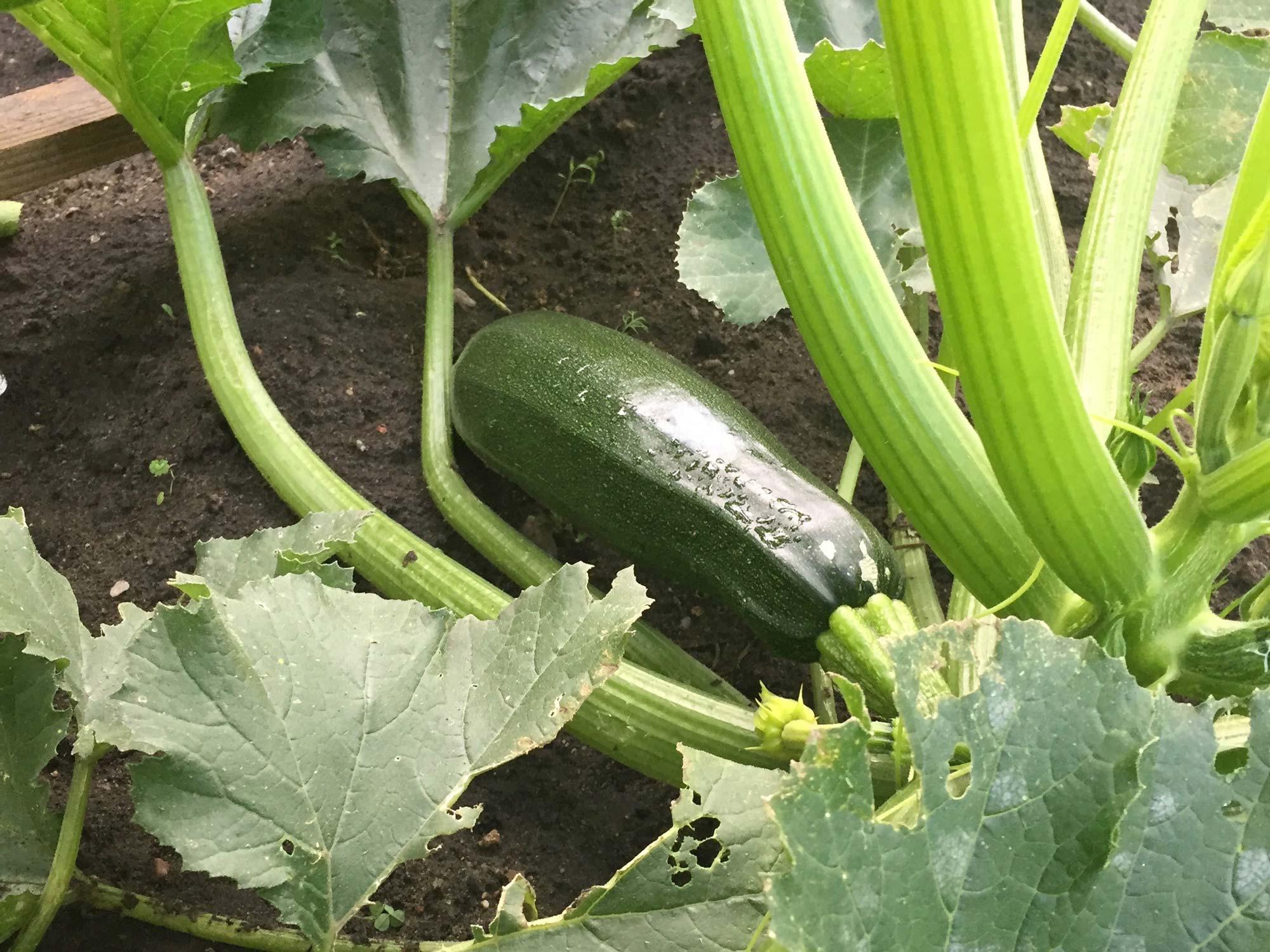 Eine reife Zucchini an einer Pflanze