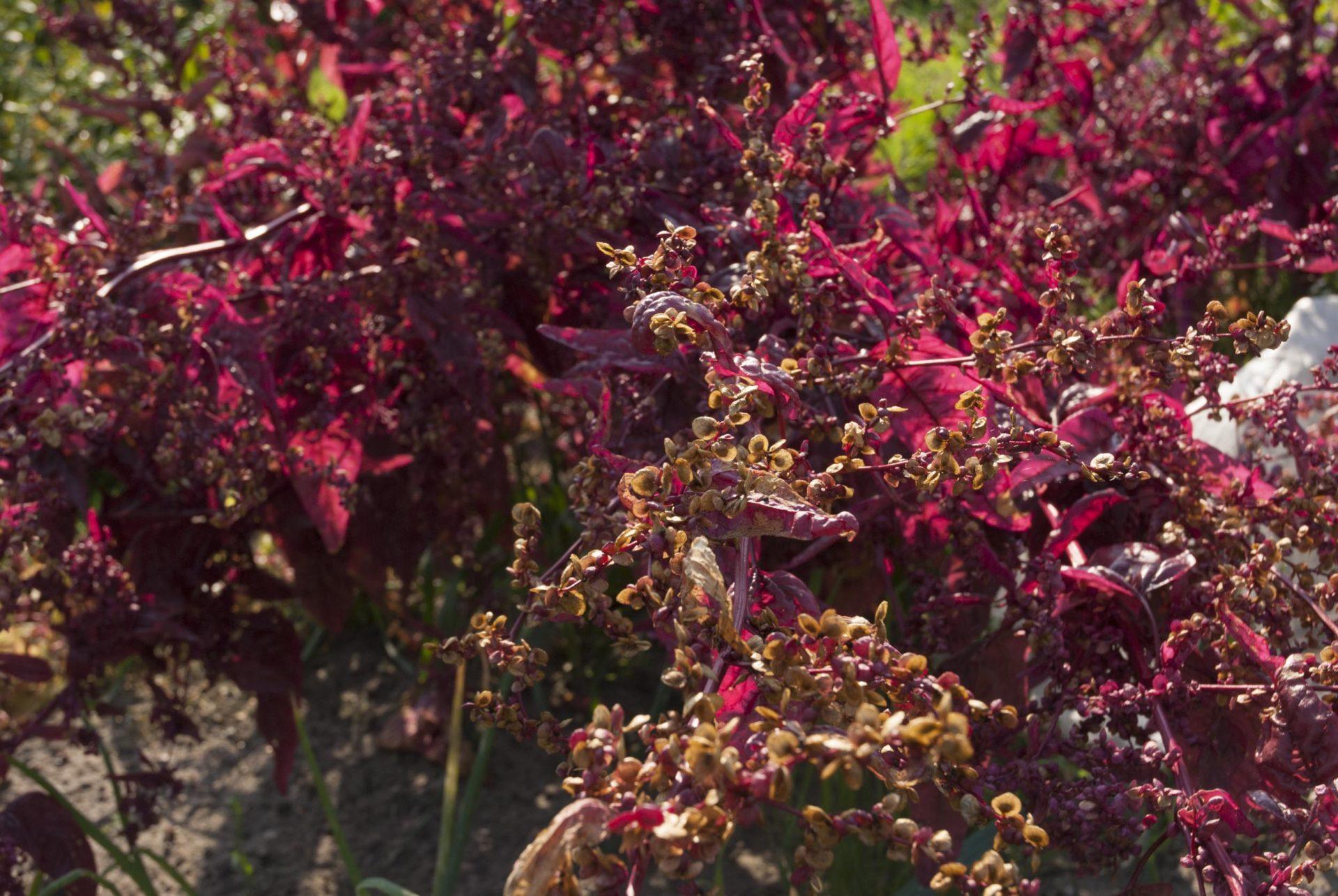 Blütenstand einer roten Melde.