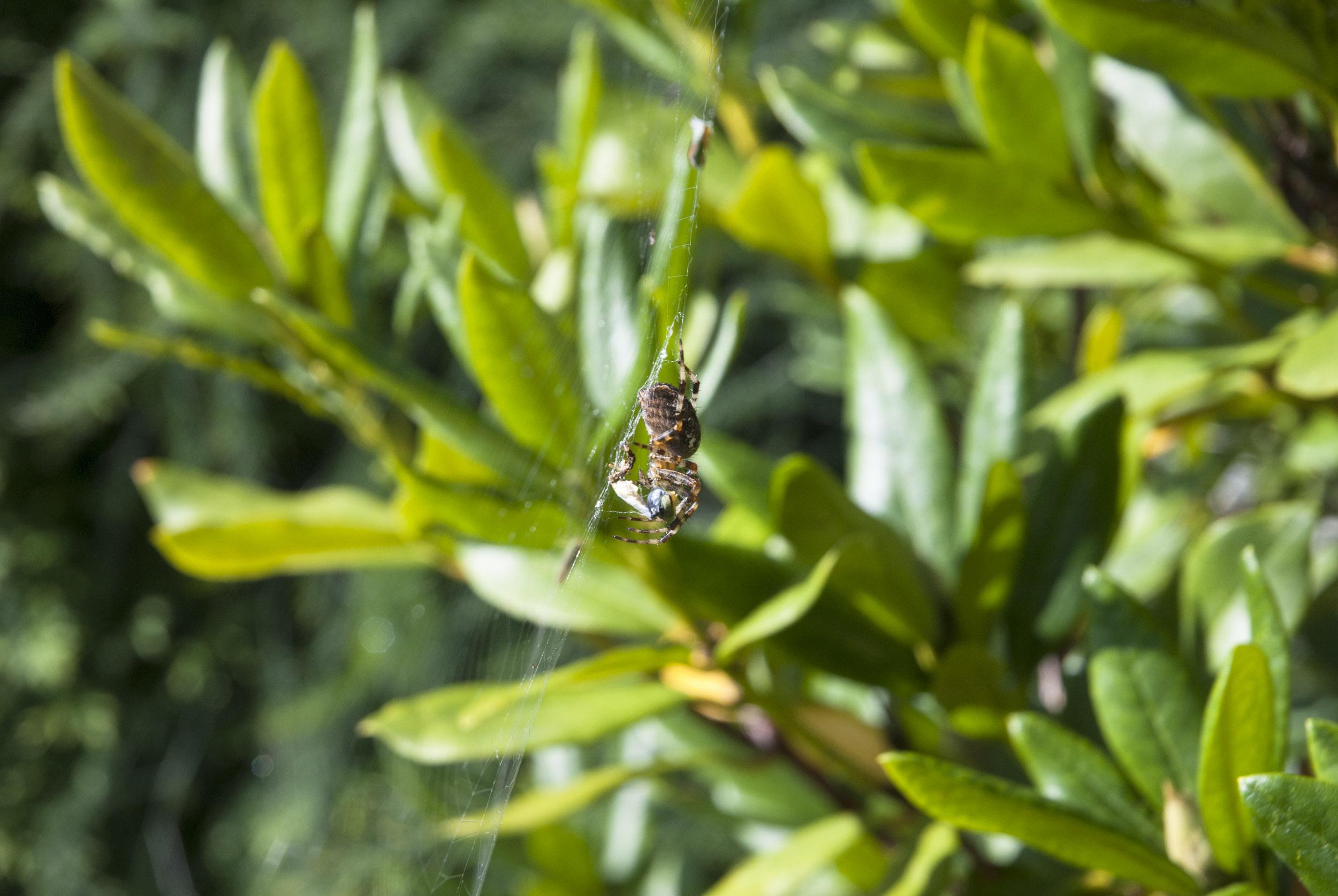 Eine Spinne lauert in einem Rhododendron-Busch.