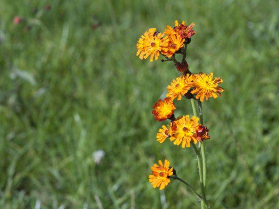 Ein Wildkraut mit einer orangefarbenen Blüte auf einem Rasen.