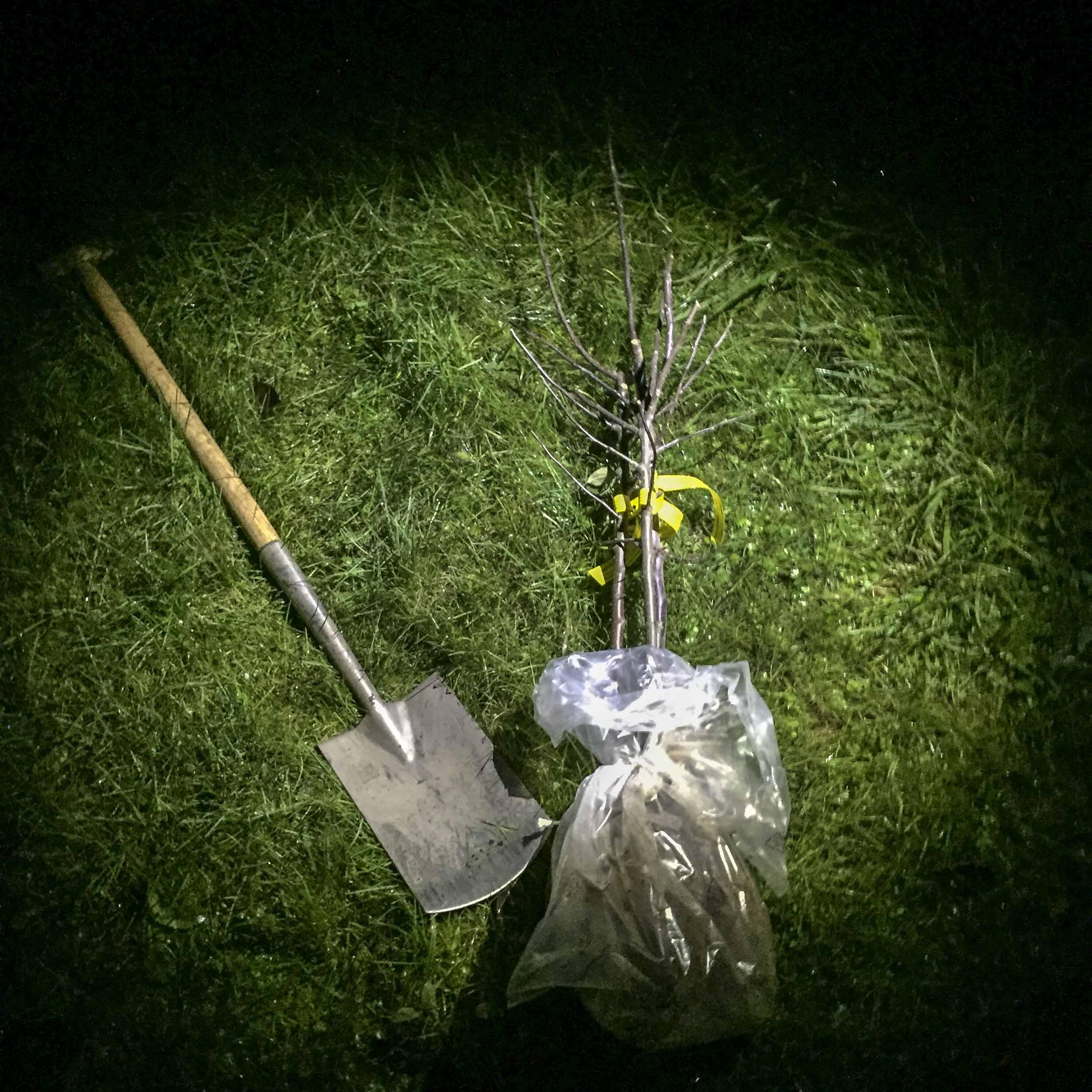 Apfelbäume pflanzen: Ein Apfelbaum, noch in Folie verpackt, liegt neben einem Spaten auf dem Rasen.