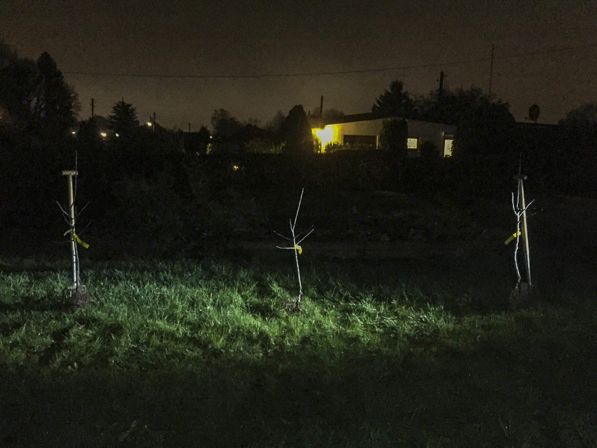 Apfelbäume pflanzen: Eine Hecke aus Apfelbäumen in Busch-Höhe steht auf einem Rasen in der Dunkelheit.