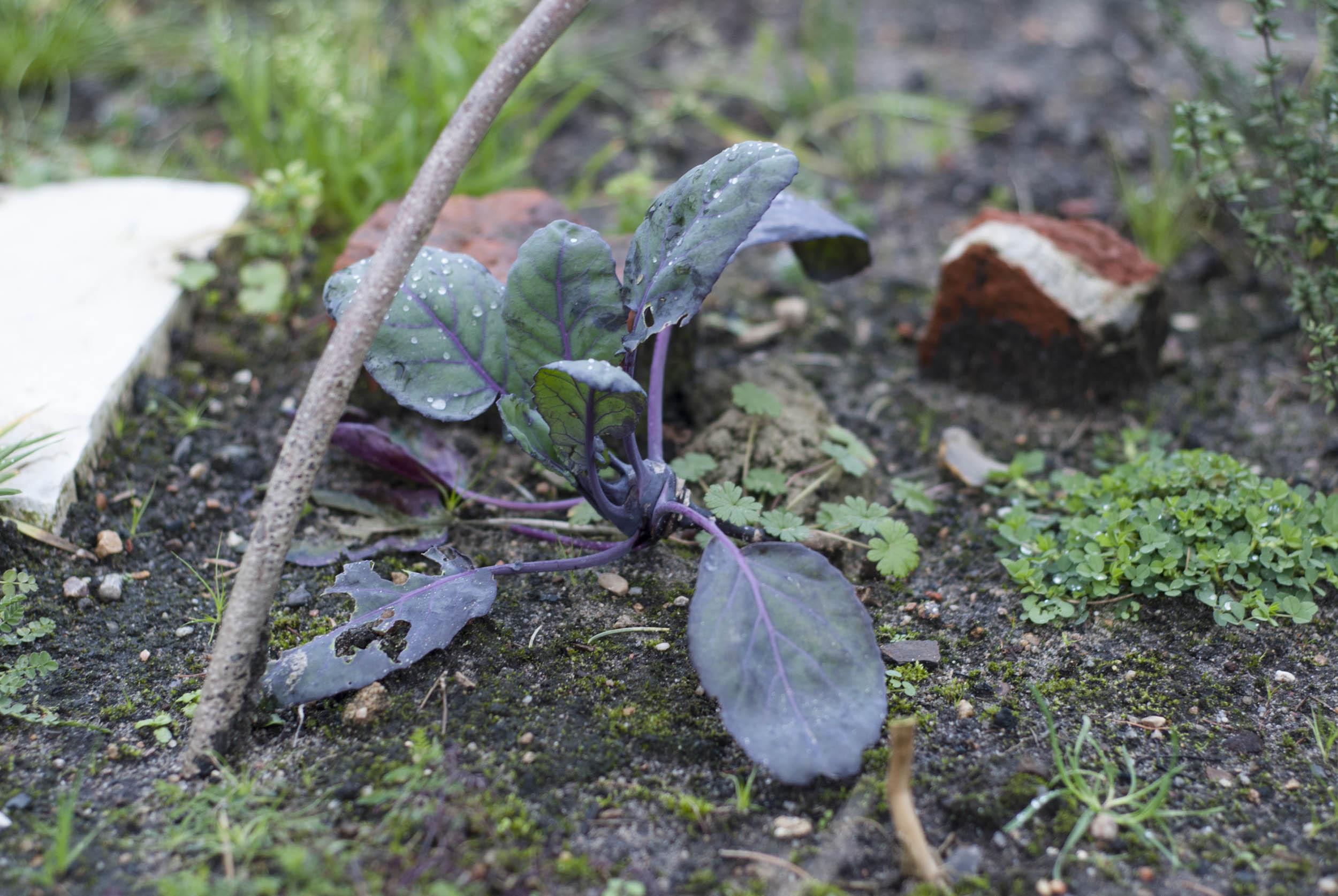 Garten im Januar: eine in einem Beet vergessene Kohlrabipflanze.