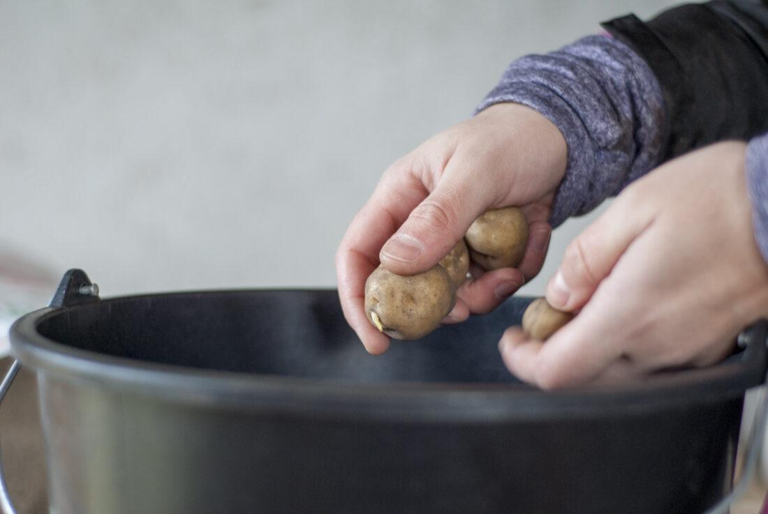 Zwei Hände halten Saatkartoffeln und lassen sie in einen Eimer fallen.