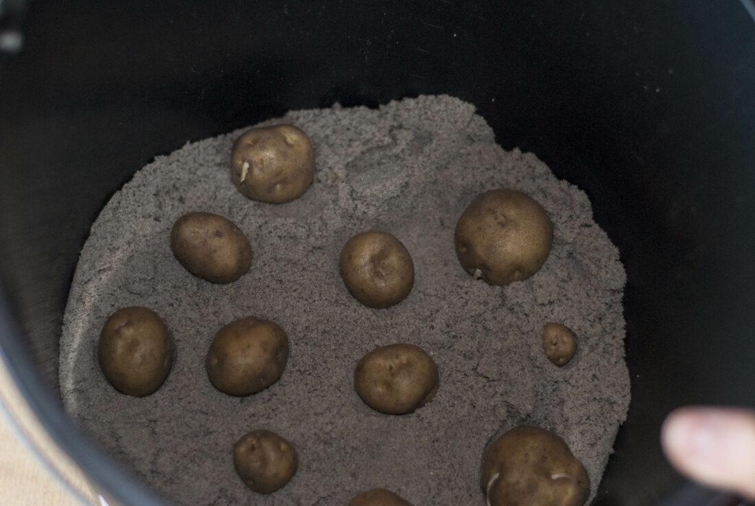 Saatkartoffeln in einem Eimer.