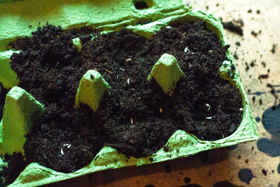 Ein Eierkarton, der für die Anzucht von Samen genutzt wurde.
