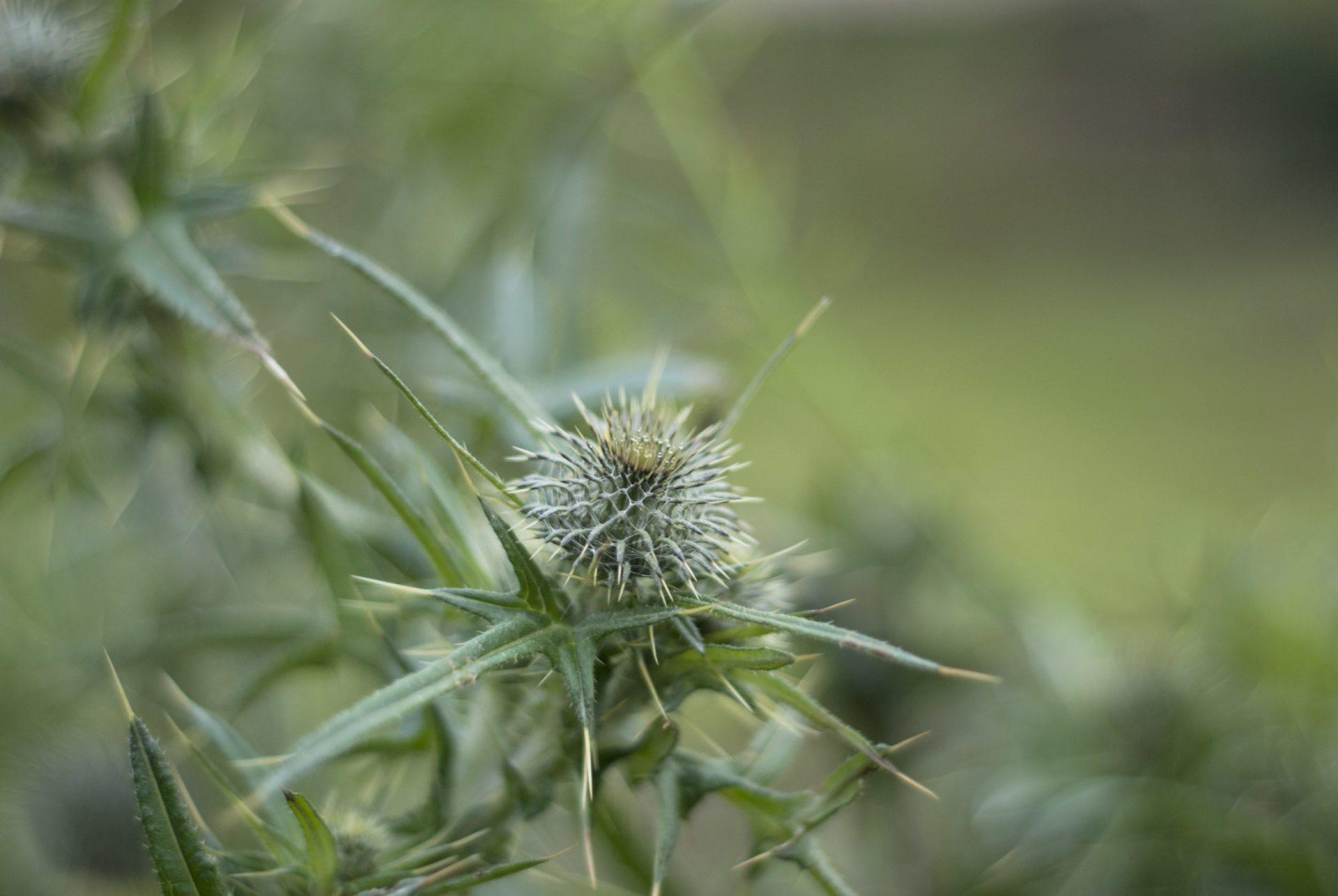 Natürlich gärtnern: Die Blüte einer Distel.