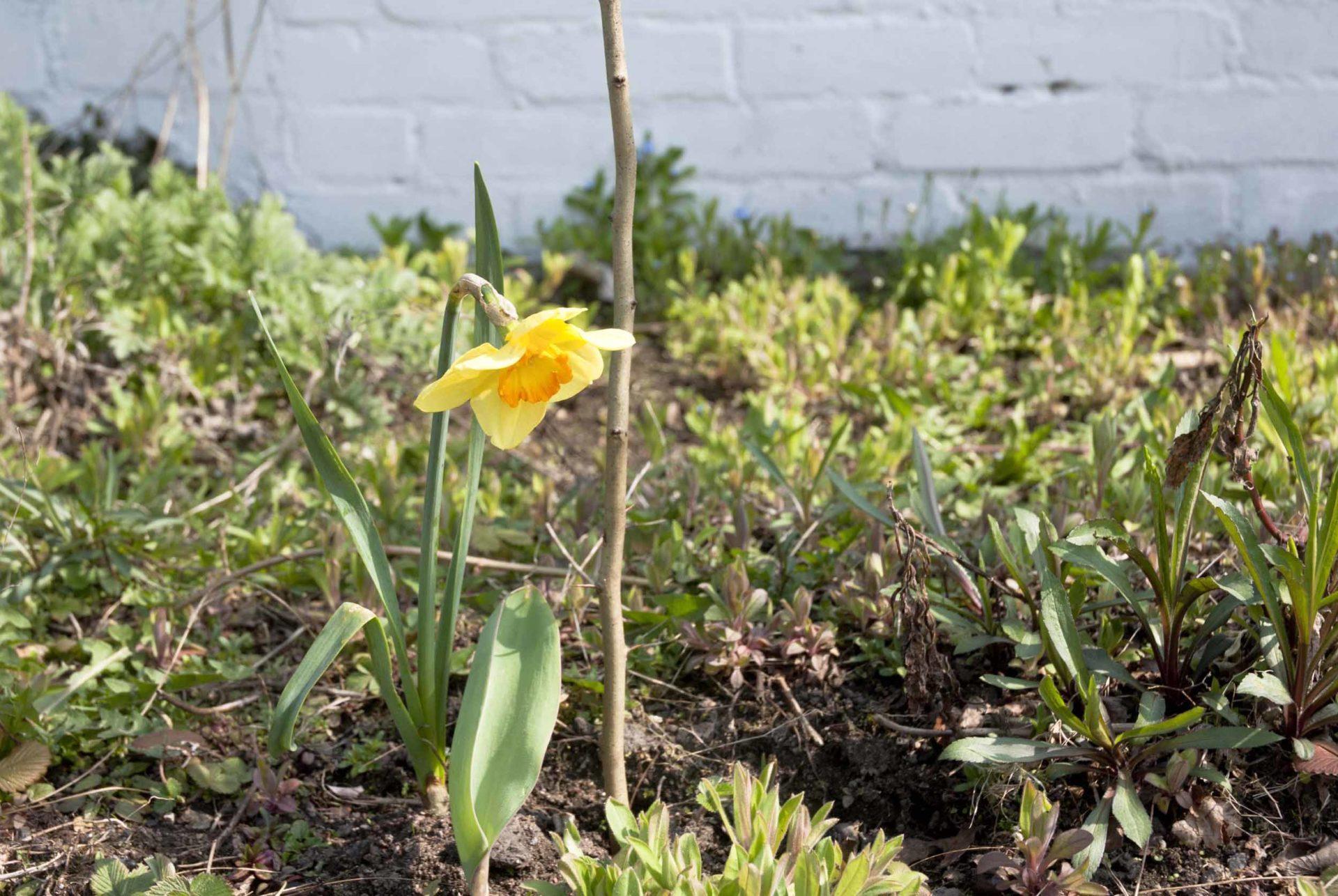 Frühlingsanfang: eine Narzisse blüht in einem Beet.