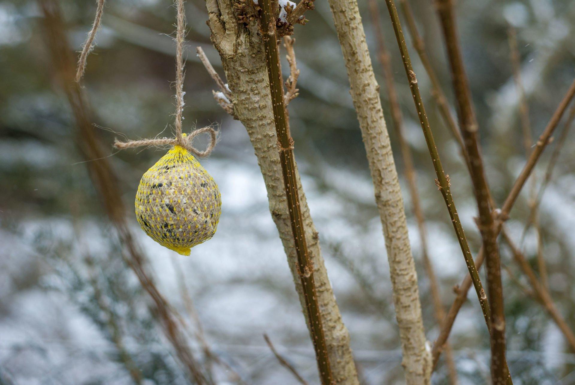 Vögel füttern: Ein Meisenknödel hängt in einer Forsythie.