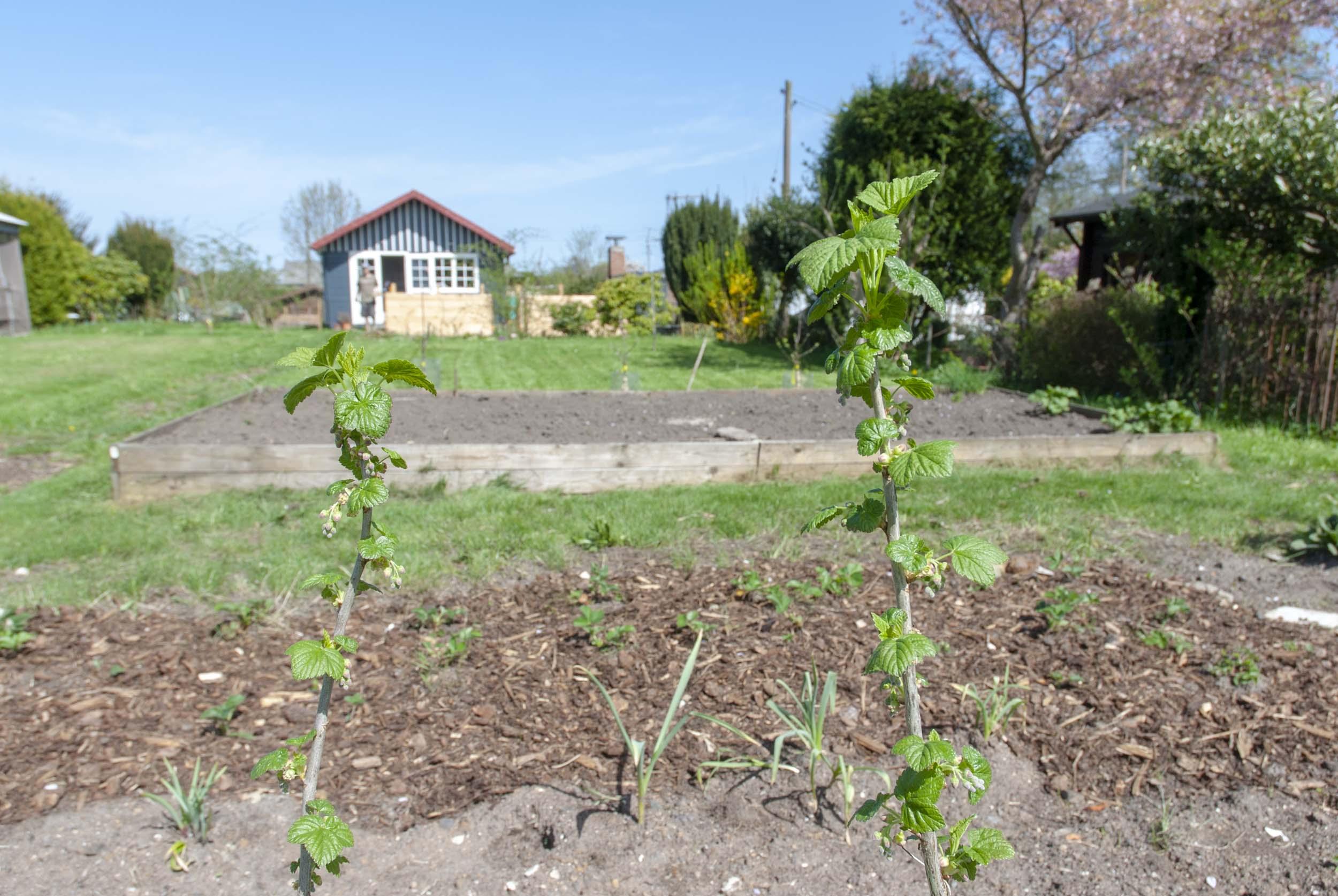 Etwas Neues genug Beerensträucher pflegen: So pflanzt, düngt und beschneidet ihr sie &ZZ_26