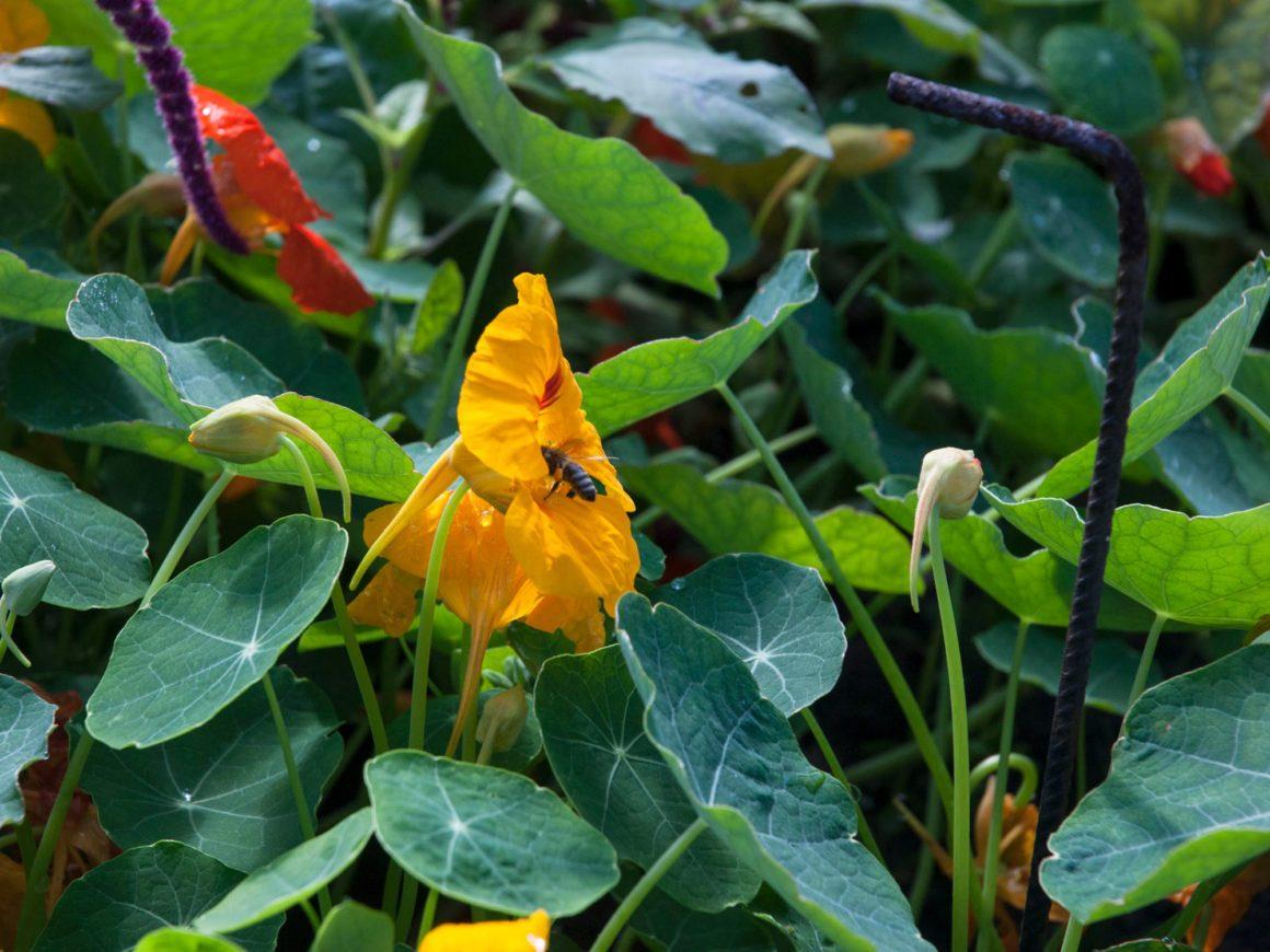 Bienenfreundlicher Garten: Eine Biene ist in die Blüte einer Kapuzinerkresse geflogen.