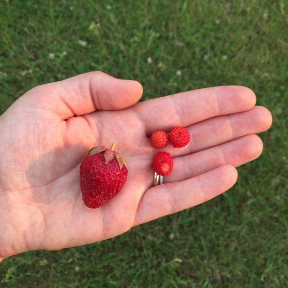 Close-up einer Frauenhand, die vier Erdbeeren, eine normale und drei Walderdbeeren in der geöffneten Handfläche hält.