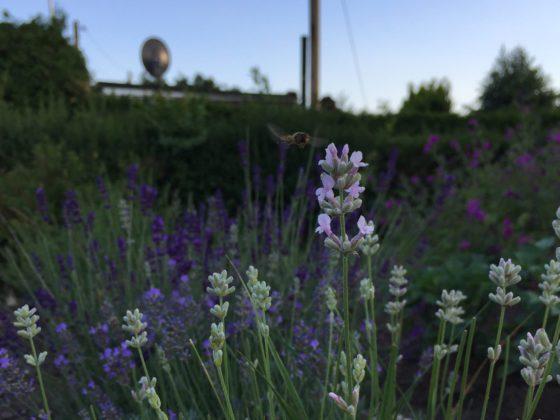 Sommeranfang 2018: Bild von Blüten dreier Lavendelsträucher mit einer Schwebefliege, aufgenommen am 21. Juni 2018.