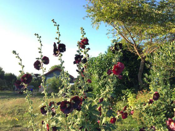 Gartentipps für Anfänger: Symbolbild mit blühenden Malven im Vordergrund eines Gartens.