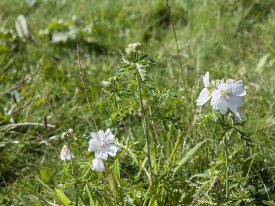 Pflanzen bestimmen: Eine weiße Moschus-Malve blüh auf einer Wiese.