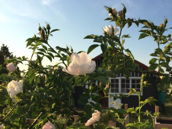 Schrebergarten gestalten: ein Strauch Heckenrosen in der Abendsonne, im Hintergrund ist eine Gartenhütte zu sehen.
