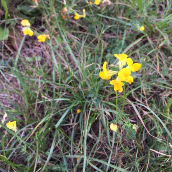 Gelbe Blüten eines Wiesen-Hornklees, Zeigerpflanze für nährstoffarmen Boden.