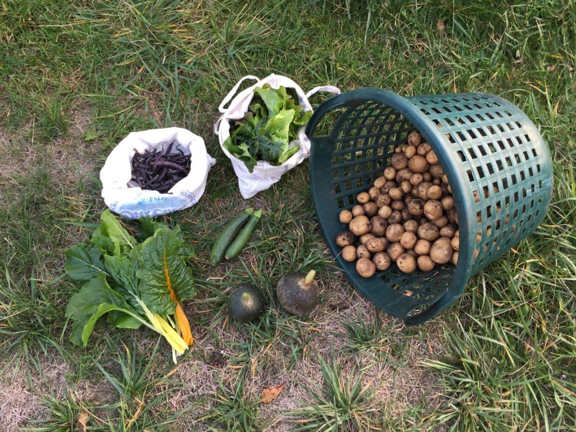 Erntedank 2018 – Foto einer Gartenernte mit Bohnen, Salat, Mangold, Zucchini, Kürbissen und Kartoffeln.
